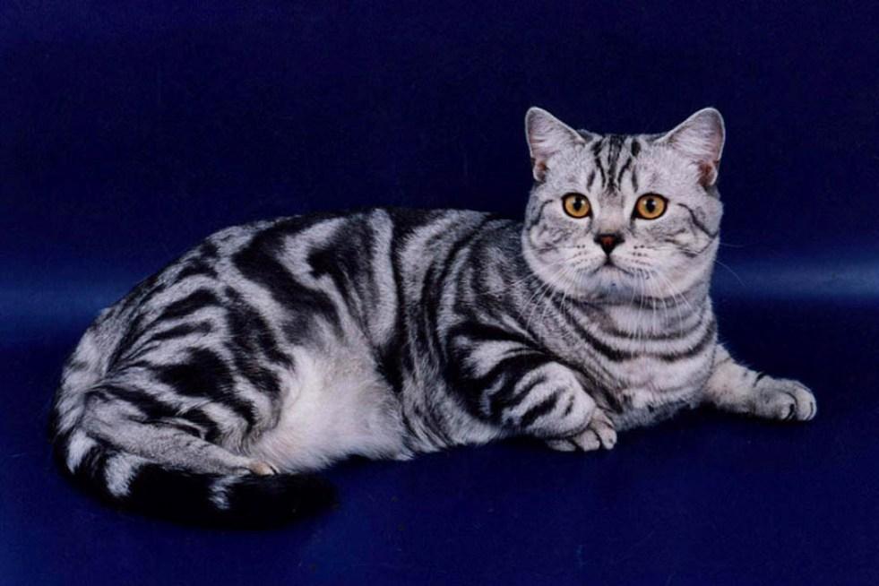 британские бенгальские коты фото гамма однотонных