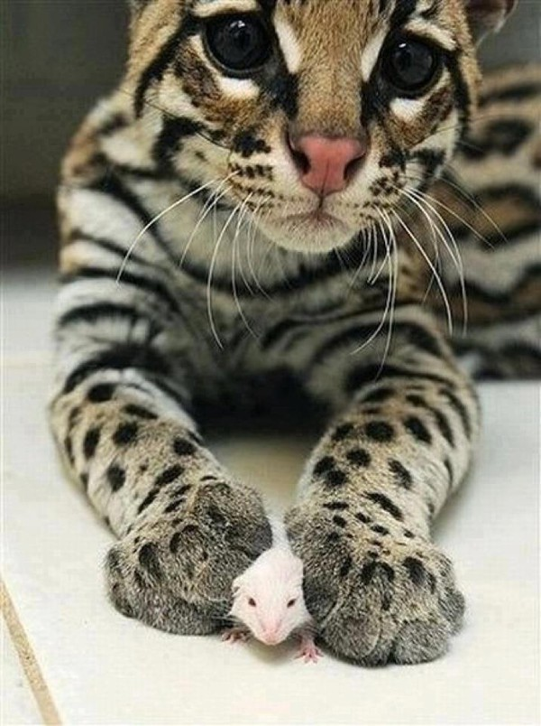 where to buy a bengal cat in maryland