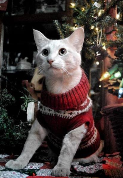Как сделать своей кошке новогодний костюм