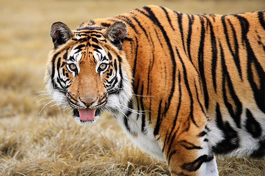 Полосатый тигр картинки